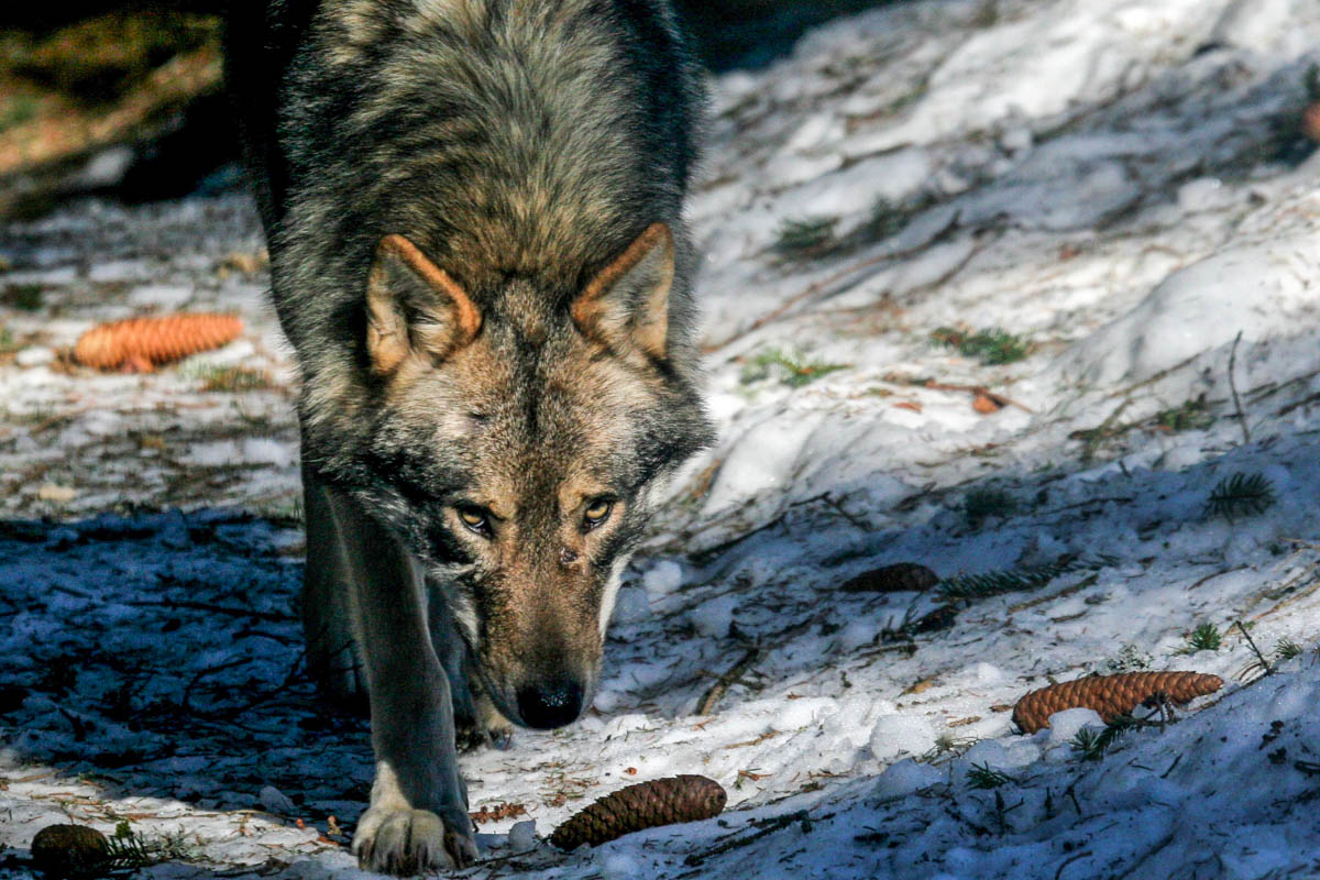 Searching for wolves - Guide Trek Alps - Viaggi Natura nel mondo