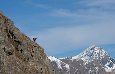 Camosci in Amore Guide Trek Alps Viaggi Natura nel Mondo