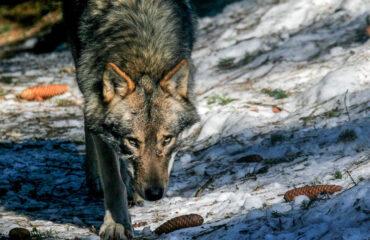 Il Luppo in VDA - Guide Trek Alps - Viaggi Natura in Mondo