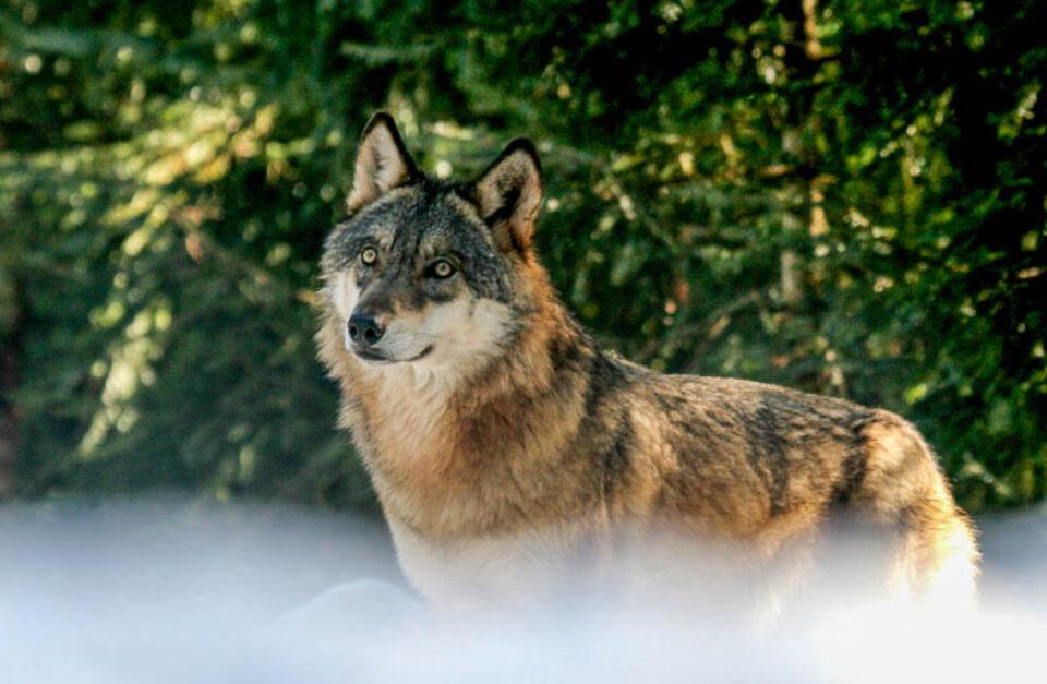 Il lupo in Valle d'Aosta